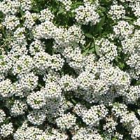 Leberbalsam - Ageratum houstonianum